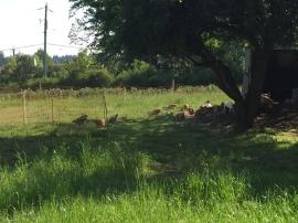 Sassos enjoying pasture