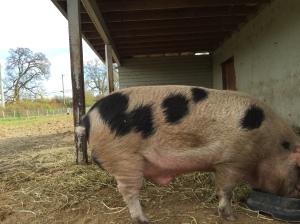 Angus the Gloucester Old Spot boar